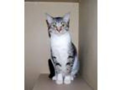 Adopt Gracie 6078 a Domestic Short Hair