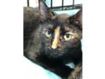 Adopt Tuscan Sunset a Tortoiseshell Domestic Shorthair (short coat) cat in