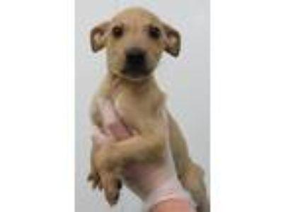 Adopt Walker a Labrador Retriever