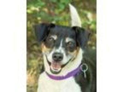 Adopt Sparky a Black - with White Jack Russell Terrier / Terrier (Unknown Type