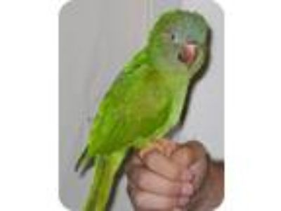 Adopt Kirby a Conure bird in Northbrook, IL (9451210)