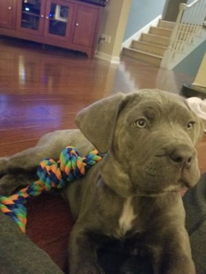 Cane Corso PUPPY FOR SALE ADN-62604 - Cane Corso female from litter of 12