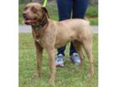 Adopt Lucy 30381 a Labrador Retriever, Australian Cattle Dog / Blue Heeler