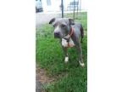 Adopt piper a Gray/Blue/Silver/Salt & Pepper American Pit Bull Terrier / Mixed