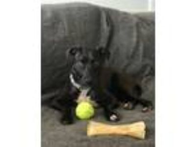 Adopt BABY a Black - with White Retriever (Unknown Type) / Mixed dog in Earl