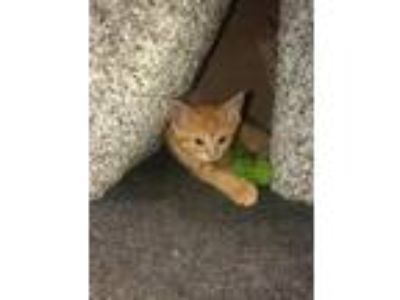 Adopt Collin a Orange or Red Tabby Domestic Shorthair (short coat) cat in Toms