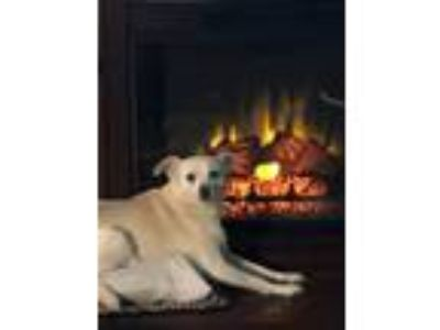 Adopt Norma Jean a White Jack Russell Terrier / Rat Terrier / Mixed dog in