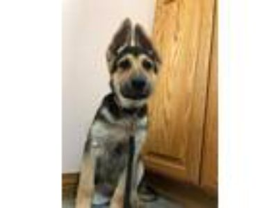 Adopt Vin a Black - with Tan, Yellow or Fawn German Shepherd Dog / Mixed dog in