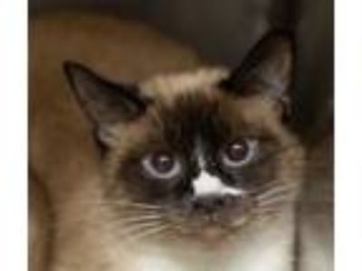 Adopt Lemongrass a Tan or Fawn (Mostly) Siamese (short coat) cat in Merrifield