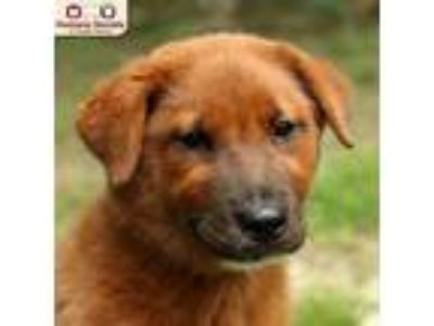 Adopt Cinnamon a Red/Golden/Orange/Chestnut Chow Chow / Mixed dog in Nashua