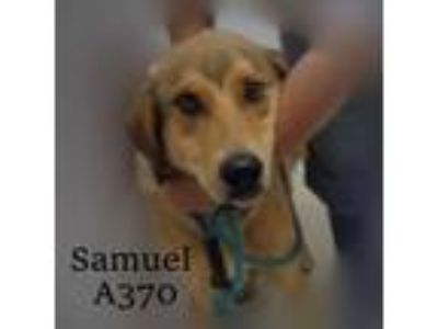 Adopt Samuel a Great Dane, Labrador Retriever