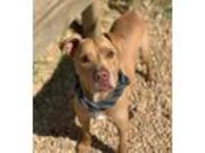 Adopt Tulsa a Brown/Chocolate Terrier (Unknown Type, Small) / Mixed dog in