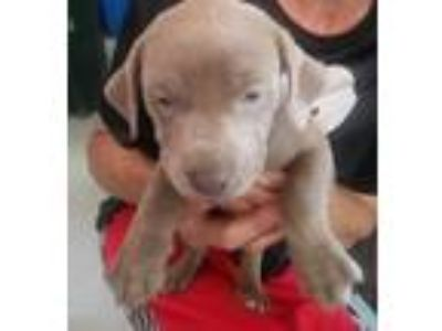 Adopt Apolla (Ellas puppy) a Pit Bull Terrier / Mixed dog in Henderson
