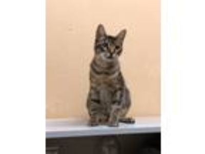 Adopt Domino a Brown Tabby Domestic Shorthair / Mixed cat in Allen