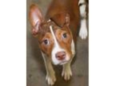 Adopt Ziggy a Tan/Yellow/Fawn Australian Cattle Dog / Australian Cattle Dog /