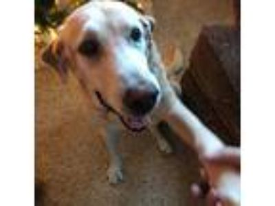 Adopt Mary a Labrador Retriever