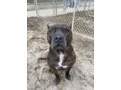 Adopt Spud a Brown/Chocolate Mixed Breed (Large) / Mixed dog in Adrian