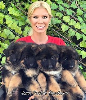 Top German Shepherd Puppies Available for Sale in Tampa FL