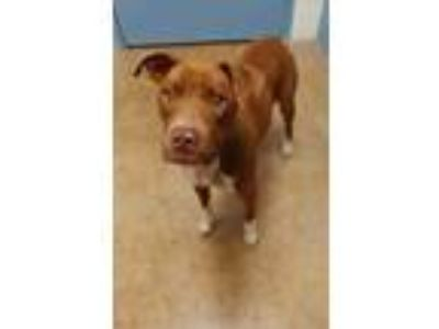 Adopt Nellie(NO CATS) a Brown/Chocolate American Pit Bull Terrier / Mixed dog in