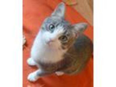 Adopt HAHN a Tabby, American Shorthair