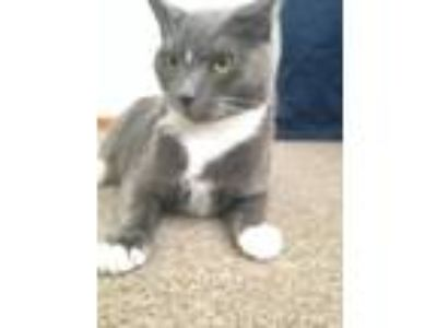 Adopt Tobi a Gray or Blue Domestic Shorthair / Mixed cat in Las Vegas