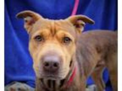 Adopt Doogie a German Shepherd Dog, Shar-Pei