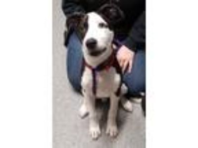 Adopt Fabio a Border Collie / Mixed dog in Oceanside, CA (25531018)