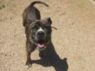 Adopt SASHA a Brindle - with White American Pit Bull Terrier / Mixed dog in