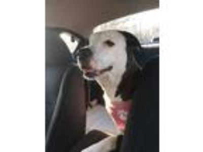 Adopt Fergie a Pit Bull Terrier