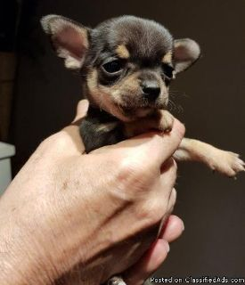 Toy Yorkie /Chihuahua