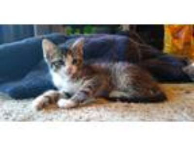Adopt Mittens a Tiger Striped Maine Coon cat in Garland, TX (25832548)