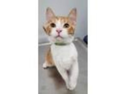 Adopt Leo a Domestic Shorthair / Mixed (short coat) cat in Angola, IN (25338398)