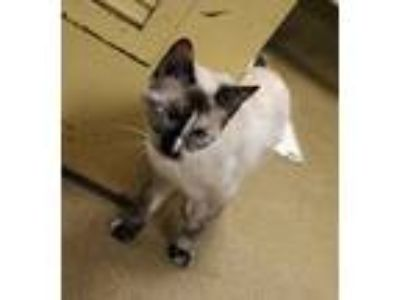 Adopt SKY a Cream or Ivory (Mostly) Siamese (short coat) cat in Euclid
