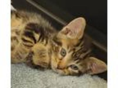 Adopt Elsa a Tan or Fawn Tabby Domestic Shorthair (short coat) cat in Huntley
