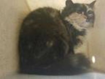 Adopt ARIA a Tortoiseshell Domestic Longhair / Mixed (long coat) cat in Tacoma