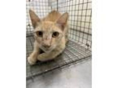 Adopt 42266115 a Orange or Red Domestic Shorthair / Domestic Shorthair / Mixed