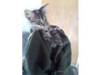 Adopt 41971334 a Gray or Blue Domestic Longhair / Domestic Shorthair / Mixed cat