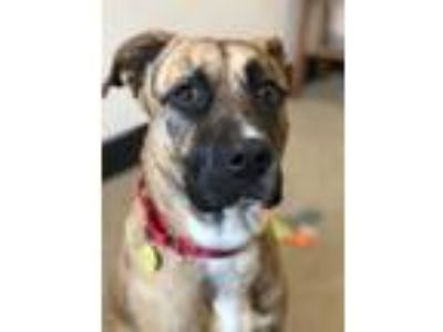 Adopt Tony the tiger a Black Shepherd (Unknown Type) / Boxer / Mixed dog in