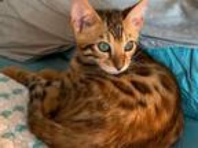 Exotic bengal kittens for sale