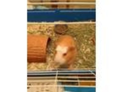 Adopt Rocki a Tan or Beige Guinea Pig small animal in Libertyville