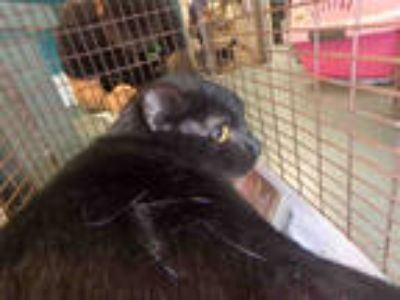 Adopt STARR a All Black Domestic Shorthair / Mixed (short coat) cat in