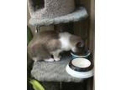 Adopt Bruce a Tan or Fawn (Mostly) Domestic Mediumhair / Mixed cat in Santa
