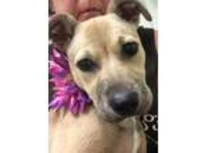 Adopt Jenny a Black Mouth Cur, Labrador Retriever