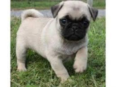 Charming Pug puppies ready for adoption