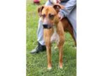 Adopt Duke 689 a Retriever