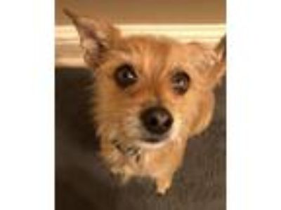 Adopt Milo Ventimiglia a Tan/Yellow/Fawn Terrier (Unknown Type