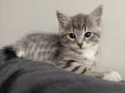 Adopt Polux a Gray, Blue or Silver Tabby Domestic Shorthair (short coat) cat in
