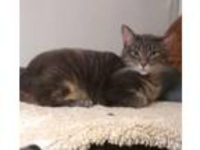 Adopt Enzo a Domestic Short Hair, Tabby