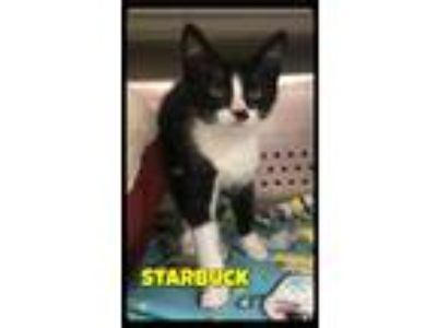 Adopt Starbuck - Foster / 2019 a Domestic Short Hair