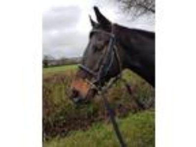 Lovely re homing good looking Gelding